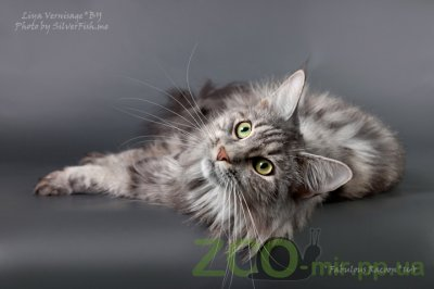 Питомник кошек Fabulous Racoon