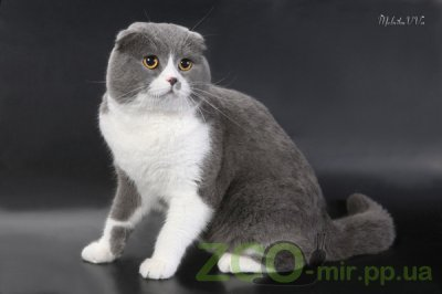 Питомник кошек Сeltwell