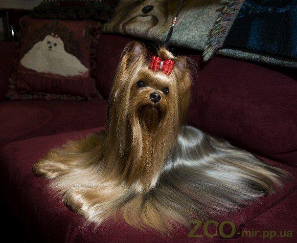 Рекомендации по уходу за шерстью йоркширского терьера с помощью косметики Plush Puppy