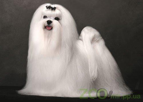 Рекомендации по уходу за шерстью мальтезе с помощью косметики Plush Puppy. Подготовка к выставке