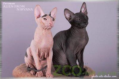 питомники кошек Украина