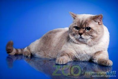Питомник кошек Marigold