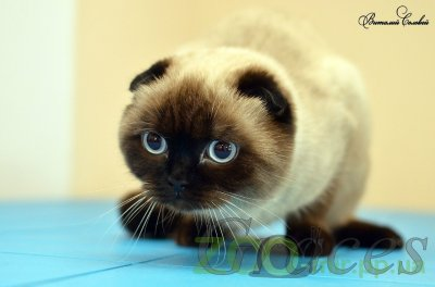 Питомник кошек Graces
